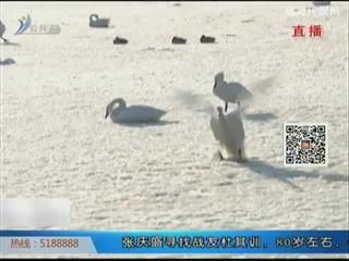 受低温影响天鹅湖结冰 天鹅觅食困难