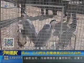 乳山:三只野生苍鹭康复后回归大自然
