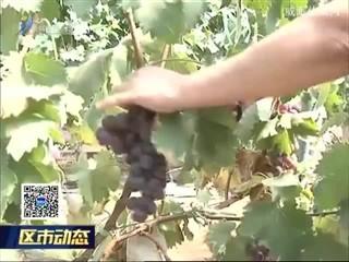 汪疃神山葡萄采摘园寻觅记忆中的味道