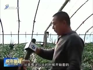 乳山:草莓种植有新招 果实套装效益高