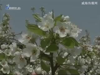 """""""乳山巴梨""""入选威海市地理标志商标"""