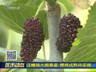 汪疃镇大棚桑葚 樱桃成熟待采摘
