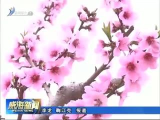 """文登区举办""""世外桃源 仙境葛家""""万亩桃花赏花季活动"""