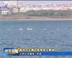 首批大天鹅飞抵荣成天鹅湖